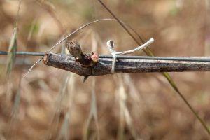 Bourgeon vignes bourgogne - Travail de la vigne