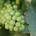 Raisin vert pinot noir de gevrey chambertin