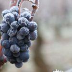 Pinot noir givré Gevrey-Chambertin Domaine Gallois